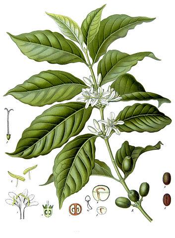 Kaffeepflanze_Coffea